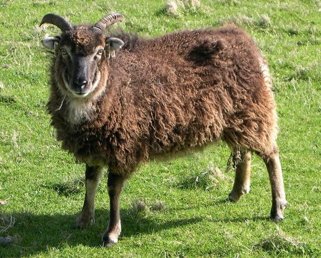 Mouton soay